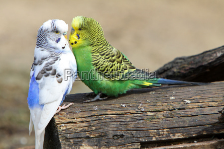 two cuddly parakeets