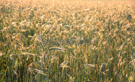 food aliment agriculture farming field summer