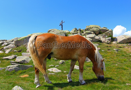 horse rock haflinger horse high mountains