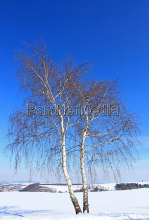 blue trunk ice winter landscape birch