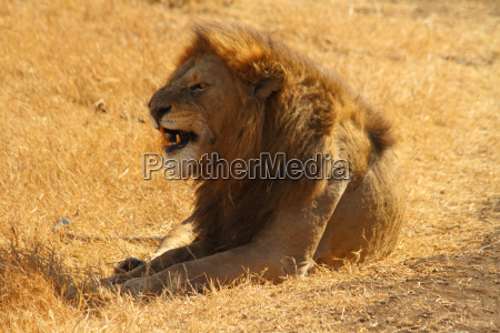 snarling lion