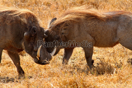 warthog greeting