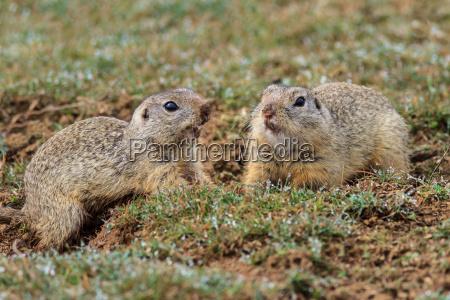 prairie dog cynomys ludovicianus