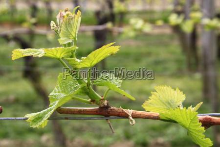 driven vines on the kaiserstuhl
