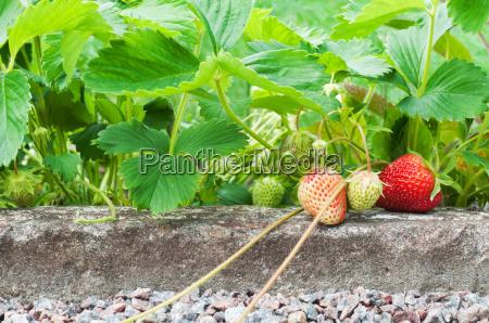 strawberries growing in the garden
