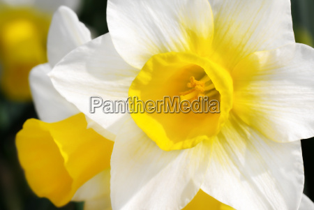 yellow and white daffodils in sunlight