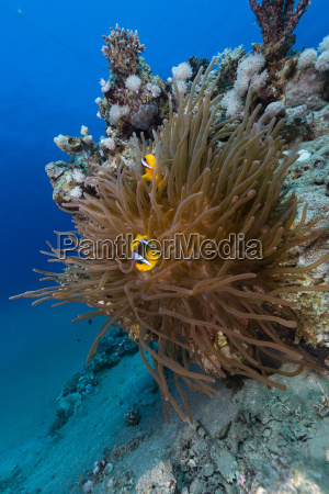 anemone and anemonefish in red sea
