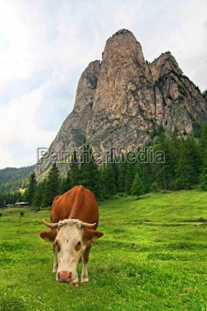 mountains dolomites animals alp rock cow