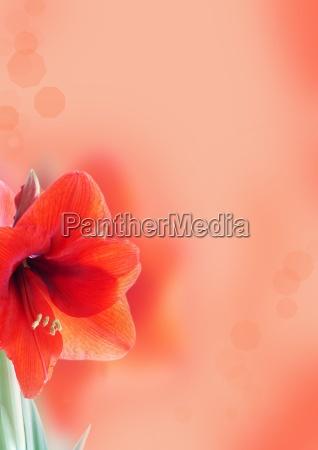 background with amaryllis flower