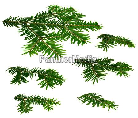 perspective branches of fir abies alba