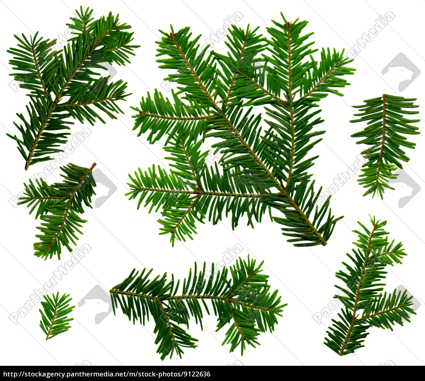 Branches Of Firs Abies Alba On White Background Royalty Free