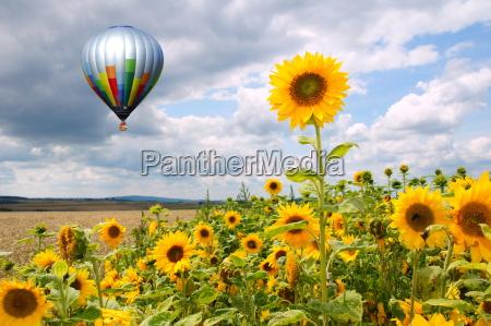 hot air balloon over sunflower fieldrn