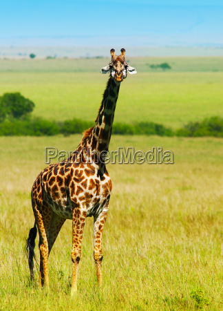 big wild african giraffe