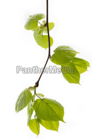 young leaves of a lime