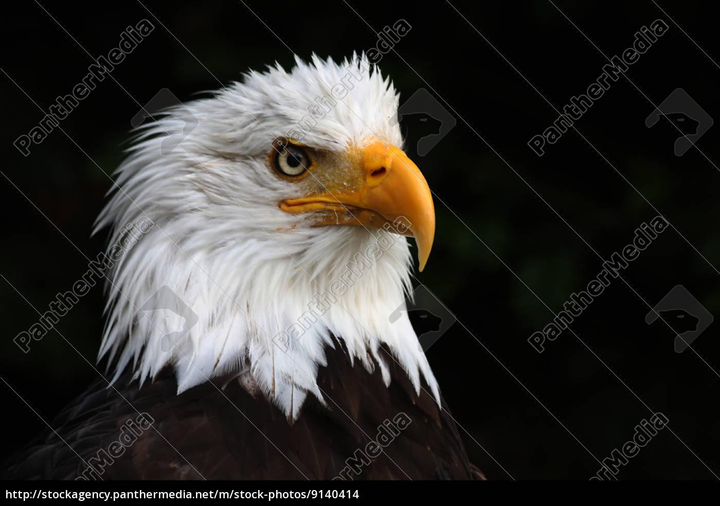 bird, animals, birds, eyes, raptor, feathers - 9140414