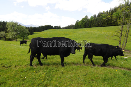pasture angusrind cow cows beef farm