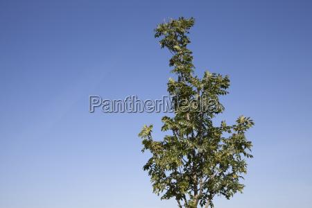 tree ash