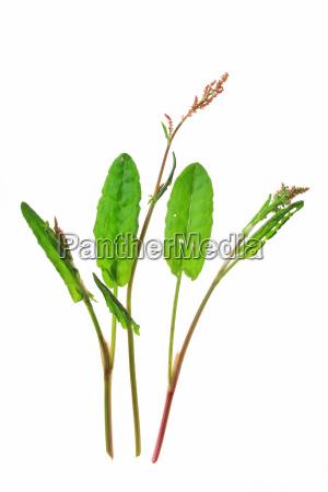 meadow sorrel rumex acetosa