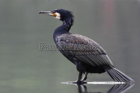 phalacrocorax carbo cormorant
