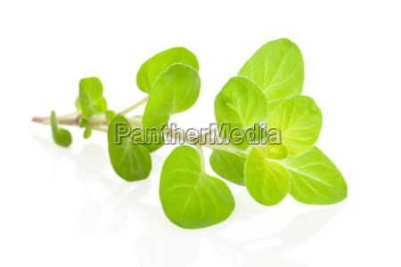 marjoram herb isolated