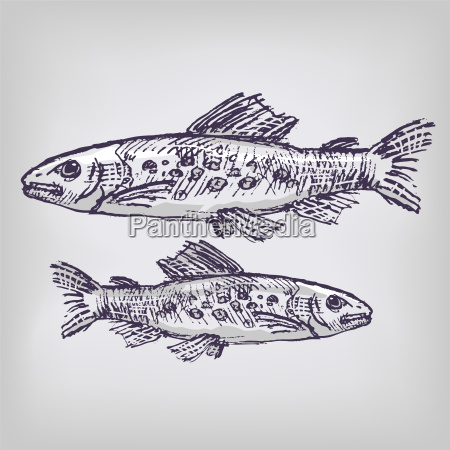 drawing trout