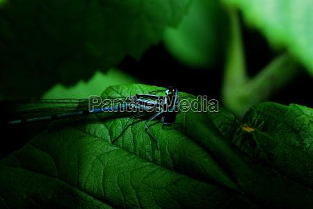 blaue libelle auf blatt