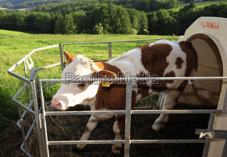 stable groom cowshed young animal calf