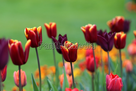 colorful, tulip, flowers - 9247332
