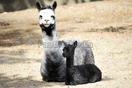 alpaca jungtier pauli
