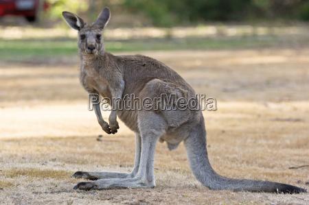 gray giant kangaroo australia