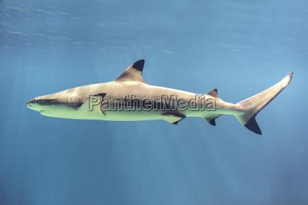 floating shark