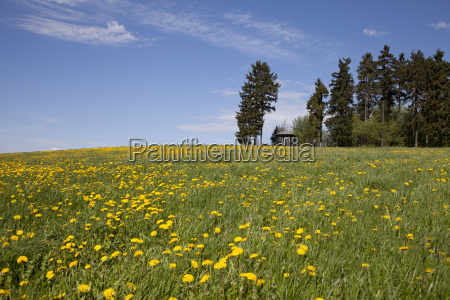 meadow with dandelion spring meadow