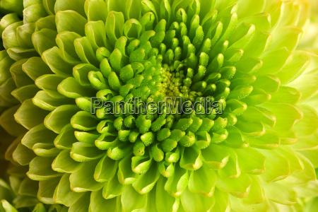 macro chrysanthemum