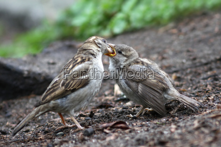 feeding the fledglings passer domesticus