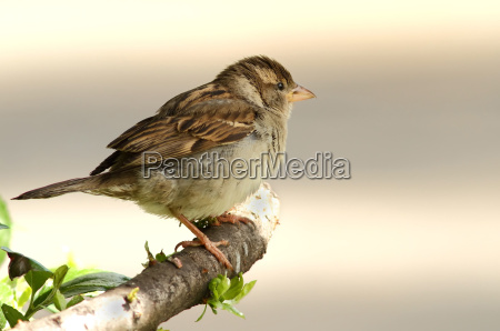 passer domesticus the sparrow