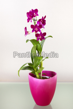 dendrobium vivid pink