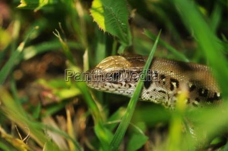 reptiles saurien lacerta agilis