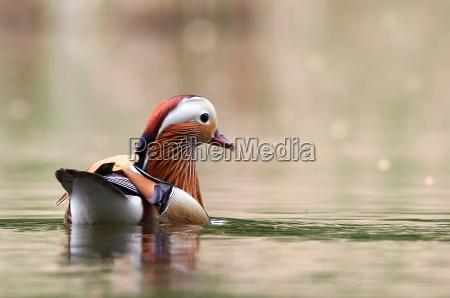 aix galericulata the mandarin duck