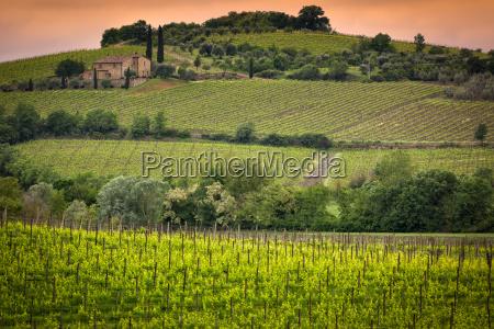vineyard near montalcino tuscany italy