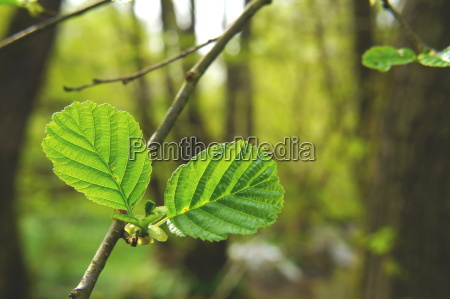 young alder leavesrn