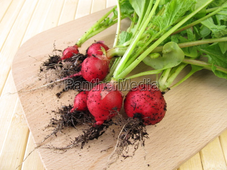 freshly harvested radishes with soil on