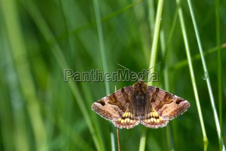 brown day owl euclidia glyphica