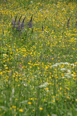 yellow flower meadow
