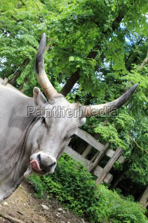 zebu humpback cattle