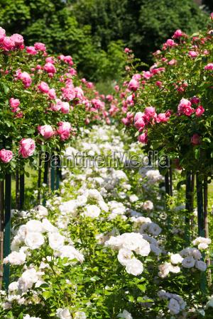 rosebush with pink roses