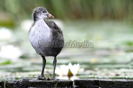 fulica young coot