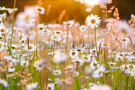 daisies field in evening glow