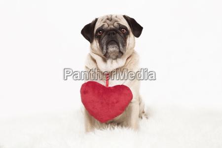 pug with heart