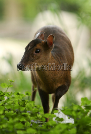 muntjac in the bushes portrait