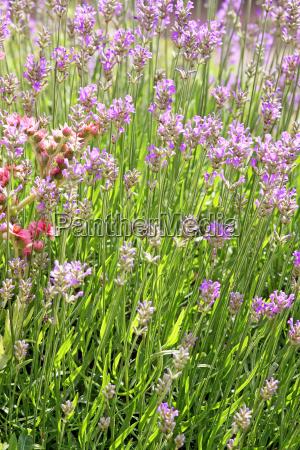 lavender and houseleek in rockery